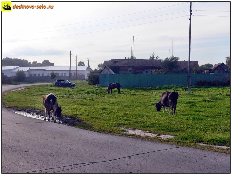 Коровы в селе Дединово, поворот к молзаводу