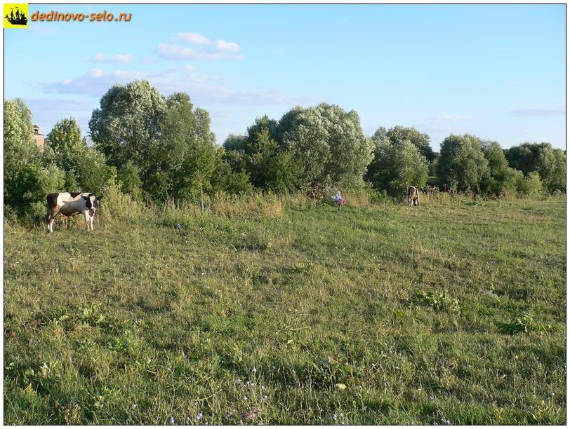 Коровы в селе Дединово, у реки Ройки