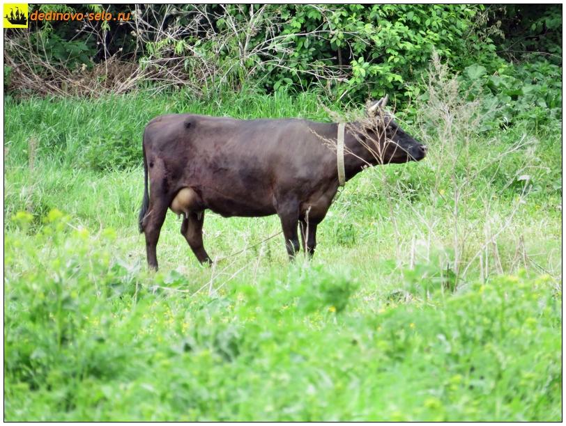 Корова в селе Дединово, на огородах