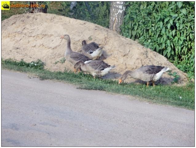 Гуси на дединовской улице. Село Дединово