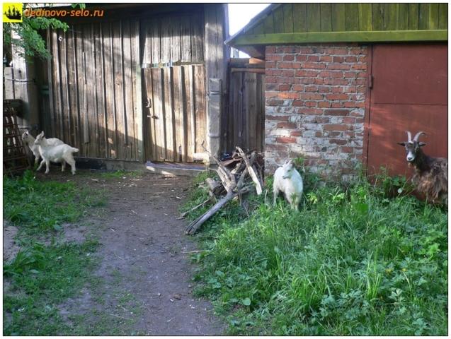 Козлы у ворот, село Дединово
