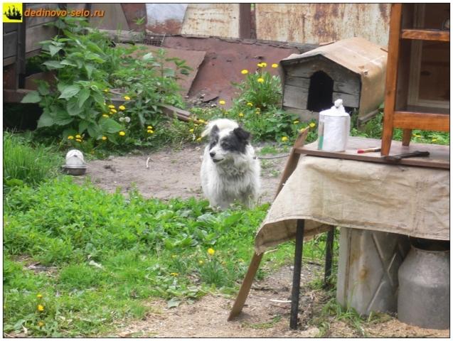 Собака во дворе, село Дединово