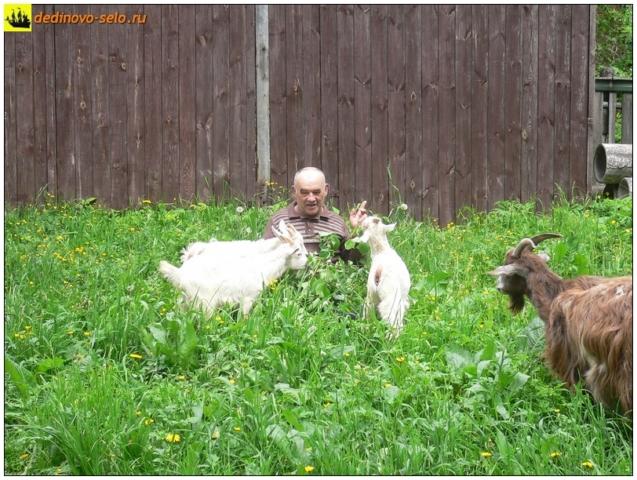 Козлы с хозяином, Дединово