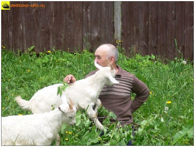 Козлики с хозяином, Дединово