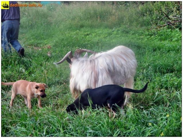 Козёл, собаки. Село Дединово