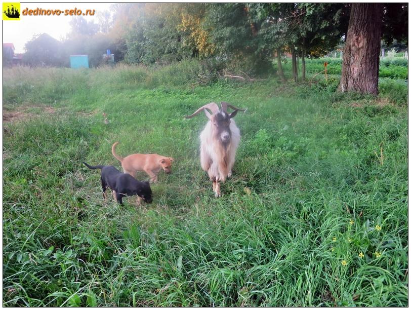 Козёл и собаки на огородах. Село Дединово