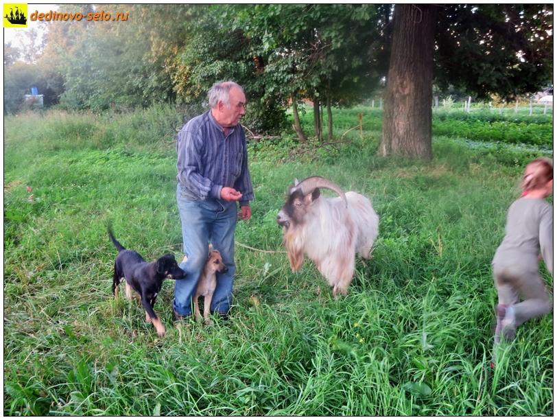 Козёл, хозяин, собаки, дети. Село Дединово