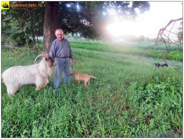 Козёл, хозяин, собаки. Село Дединово